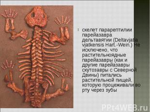 скелет парарептилии парейазавра дельтавятии (Deltavjatia vjatkensis Hart.-Wein.)