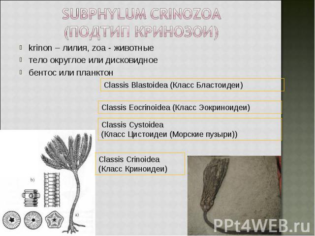 krinon – лилия, zoa - животные krinon – лилия, zoa - животные тело округлое или дисковидное бентос или планктон