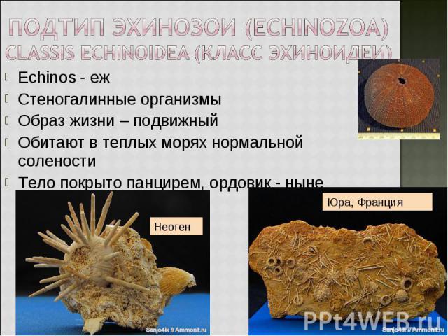 Echinos - еж Echinos - еж Стеногалинные организмы Образ жизни – подвижный Обитают в теплых морях нормальной солености Тело покрыто панцирем, ордовик - ныне