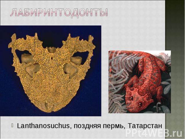 Lanthanosuchus, поздняя пермь, Татарстан Lanthanosuchus, поздняя пермь, Татарстан