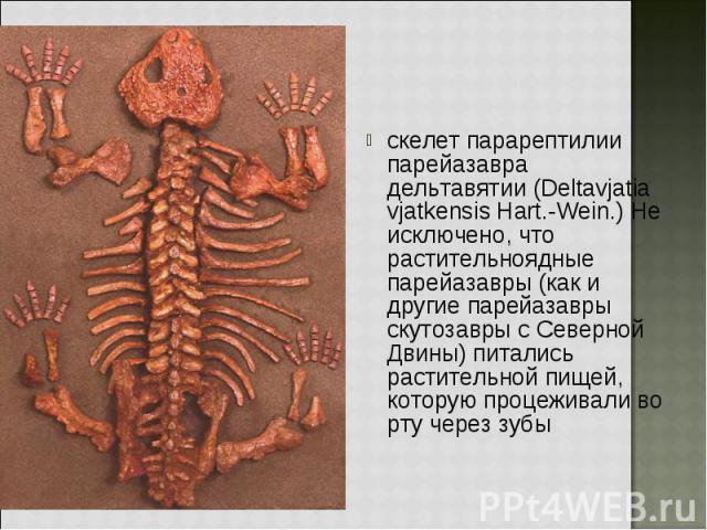 скелет парарептилии парейазавра дельтавятии (Deltavjatia vjatkensis Hart.-Wein.) Не исключено, что растительноядные парейазавры (как и другие парейазавры скутозавры с Северной Двины) питались растительной пищей, которую процеживали во рту через зубы…
