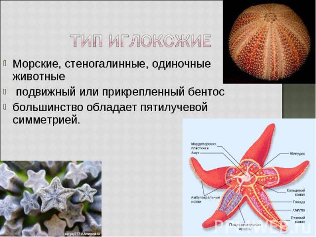 Морские, стеногалинные, одиночные животные Морские, стеногалинные, одиночные животные подвижный или прикрепленный бентос большинство обладает пятилучевой симметрией.