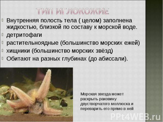 Внутренняя полость тела ( целом) заполнена жидкостью, близкой по составу к морской воде. Внутренняя полость тела ( целом) заполнена жидкостью, близкой по составу к морской воде. детритофаги растительноядные (большинство морских ежей) хищники (больши…