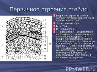 Вторичное строение стебля клевера (пучковый тип строения) на поперечном срезе: В
