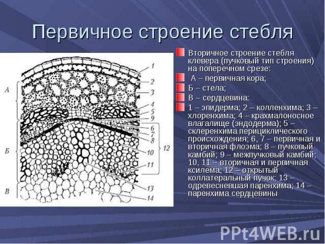 Вторичное строение стебля клевера (пучковый тип строения) на поперечном срезе: Вторичное строение стебля клевера (пучковый тип строения) на поперечном срезе: А – первичная кора; Б – стела; В – сердцевина: 1 – эпидерма; 2 – колленхима; 3 – хлоренхима…