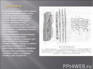 Волокна представляют собой длинные узкие прозенхимные клетки, длина которых во м