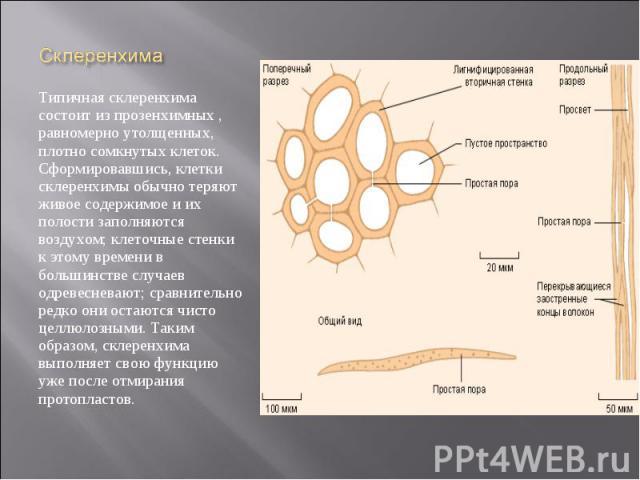 Типичная склеренхима состоит из прозенхимных , равномерно утолщенных, плотно сомкнутых клеток. Сформировавшись, клетки склеренхимы обычно теряют живое содержимое и их полости заполняются воздухом; клеточные стенки к этому времени в большинстве случа…
