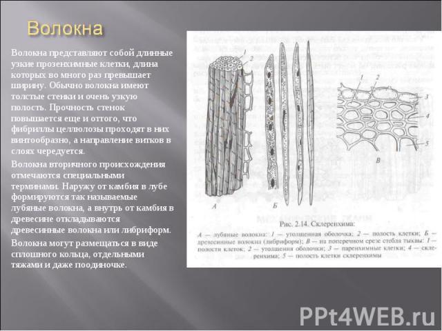 Волокна представляют собой длинные узкие прозенхимные клетки, длина которых во много раз превышает ширину. Обычно волокна имеют толстые стенки и очень узкую полость. Прочность стенок повышается еще и оттого, что фибриллы целлюлозы проходят в них вин…