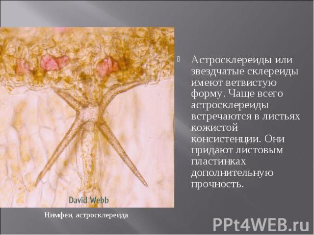 Астросклереиды или звездчатые склереиды имеют ветвистую форму. Чаще всего астросклереиды встречаются в листьях кожистой консистенции. Они придают листовым пластинках дополнительную прочность. Астросклереиды или звездчатые склереиды имеют ветвистую ф…