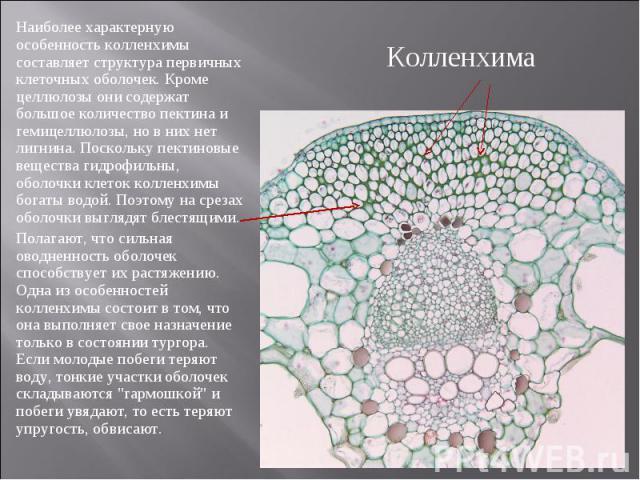 Наиболее характерную особенность колленхимы составляет структура первичных клеточных оболочек. Кроме целлюлозы они содержат большое количество пектина и гемицеллюлозы, но в них нет лигнина. Поскольку пектиновые вещества гидрофильны, оболочки клеток …