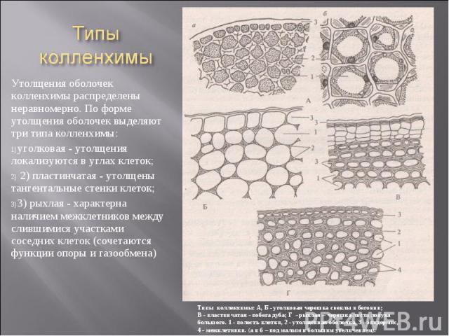 Утолщения оболочек колленхимы распределены неравномерно. По форме утолщения оболочек выделяют три типа колленхимы: Утолщения оболочек колленхимы распределены неравномерно. По форме утолщения оболочек выделяют три типа колленхимы: уголковая - утолщен…