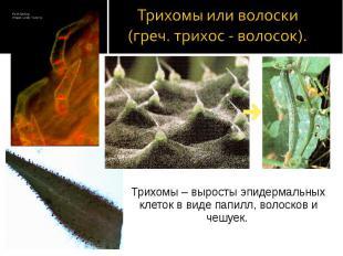 Трихомы – выросты эпидермальных клеток в виде папилл, волосков и чешуек. Трихомы