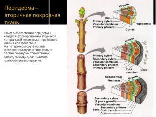 Начало образованию перидермы кладется формированием вторичной латеральной мерист