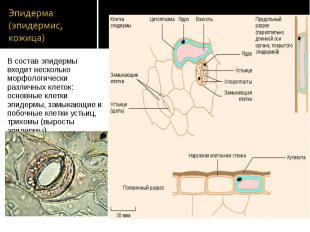 В состав эпидермы входит несколько морфологически различных клеток: основные кле