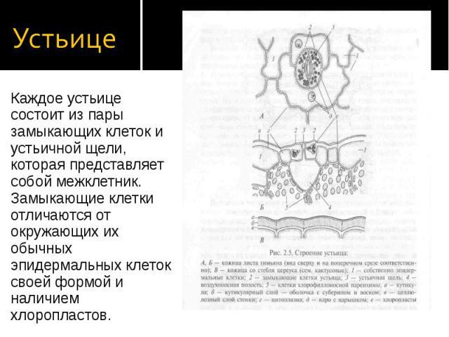Каждое устьице состоит из пары замыкающих клеток и устьичной щели, которая представляет собой межклетник. Замыкающие клетки отличаются от окружающих их обычных эпидермальных клеток своей формой и наличием хлоропластов. Каждое устьице состоит из пары…