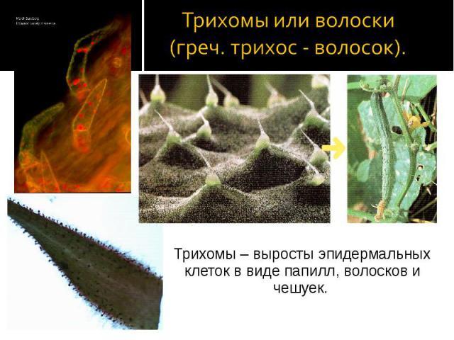 Трихомы – выросты эпидермальных клеток в виде папилл, волосков и чешуек. Трихомы – выросты эпидермальных клеток в виде папилл, волосков и чешуек.
