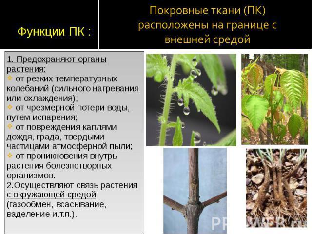 1. Предохраняют органы растения: 1. Предохраняют органы растения: от резких температурных колебаний (сильного нагревания или охлаждения); от чрезмерной потери воды, путем испарения; от повреждения каплями дождя, града, твердыми частицами атмосферной…