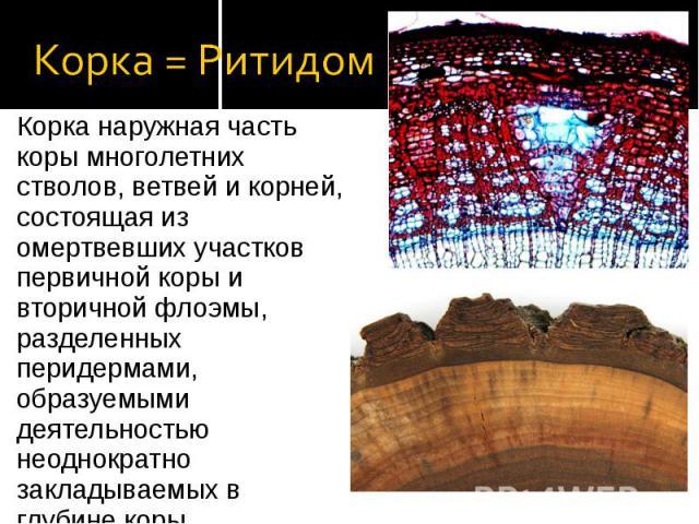 Корка наружная часть коры многолетних стволов, ветвей и корней, состоящая из омертвевших участков первичной коры и вторичной флоэмы, разделенных перидермами, образуемыми деятельностью неоднократно закладываемых в глубине коры феллогенов. Корка наруж…