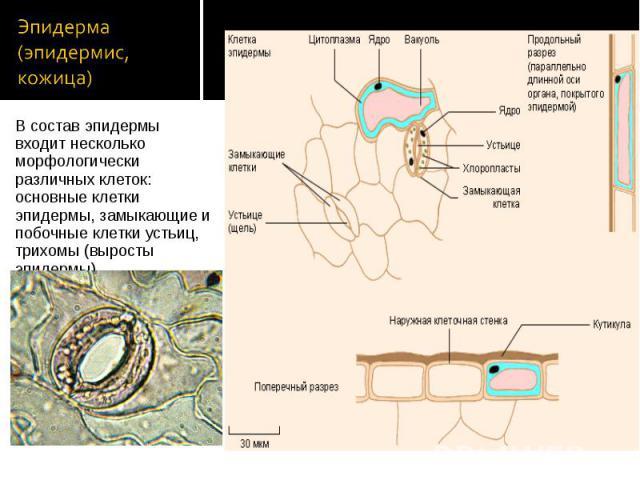 В состав эпидермы входит несколько морфологически различных клеток: основные клетки эпидермы, замыкающие и побочные клетки устьиц, трихомы (выросты эпидермы). В состав эпидермы входит несколько морфологически различных клеток: основные клетки эпидер…