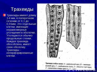 Трахеиды имеют длину 1-4 мм, в поперечном сечении от 0,1 до 0,01мм. Это отдельны