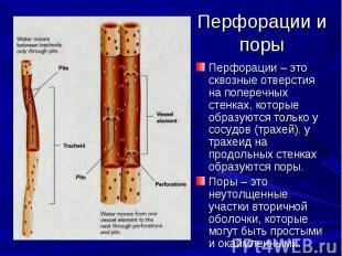 Перфорации – это сквозные отверстия на поперечных стенках, которые образуются то