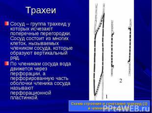 Сосуд – группа трахеид у которых исчезают поперечные перегородки. Сосуд состоит