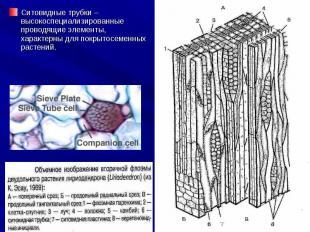 Ситовидные трубки – высокоспециализированные проводящие элементы, характерны для
