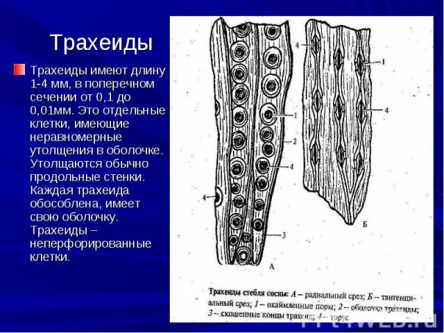 Трахеиды имеют длину 1-4 мм, в поперечном сечении от 0,1 до 0,01мм. Это отдельные клетки, имеющие неравномерные утолщения в оболочке. Утолщаются обычно продольные стенки. Каждая трахеида обособлена, имеет свою оболочку. Трахеиды – неперфорированные …