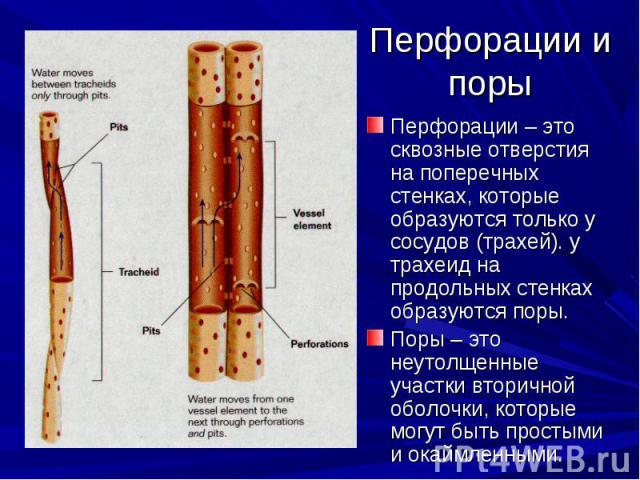 Перфорации – это сквозные отверстия на поперечных стенках, которые образуются только у сосудов (трахей). у трахеид на продольных стенках образуются поры. Перфорации – это сквозные отверстия на поперечных стенках, которые образуются только у сосудов …