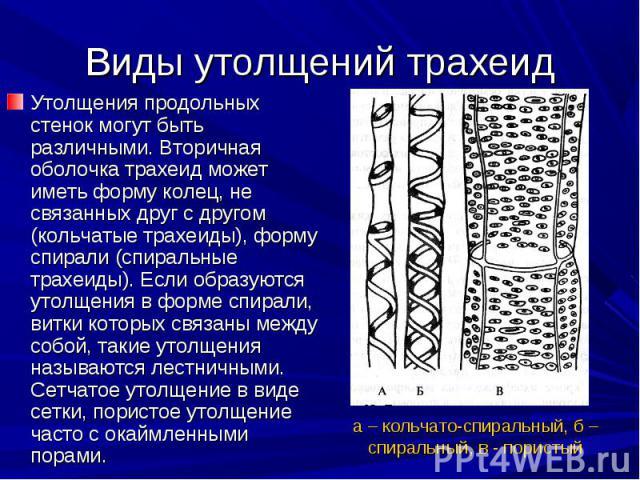 Утолщения продольных стенок могут быть различными. Вторичная оболочка трахеид может иметь форму колец, не связанных друг с другом (кольчатые трахеиды), форму спирали (спиральные трахеиды). Если образуются утолщения в форме спирали, витки которых свя…