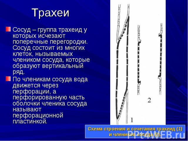 Сосуд – группа трахеид у которых исчезают поперечные перегородки. Сосуд состоит из многих клеток, нызываемых члеником сосуда, которые образуют вертикальный ряд. Сосуд – группа трахеид у которых исчезают поперечные перегородки. Сосуд состоит из многи…