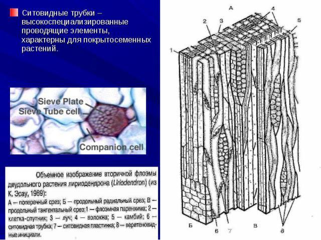 Ситовидные трубки – высокоспециализированные проводящие элементы, характерны для покрытосеменных растений. Ситовидные трубки – высокоспециализированные проводящие элементы, характерны для покрытосеменных растений.