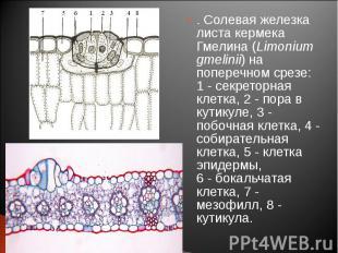 . Солевая железка листа кермека Гмелина (Limonium gmelinii) на поперечном срезе: