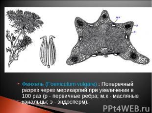 Фенхель (Foeniculum vulgare) : Поперечный разрез через мерикарпий при увеличении