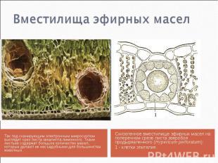 Так под сканирующим электронным микроскопом выглядит срез листа эвкалипта лимонн