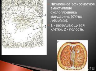 Лизигенное эфироносное вместилище околоплодника мандарина (Citrus reticulata): Л