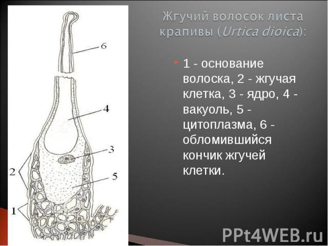 1 - основание волоска, 2 - жгучая клетка, 3 - ядро, 4 - вакуоль, 5 - цитоплазма, 6 - обломившийся кончик жгучей клетки. 1 - основание волоска, 2 - жгучая клетка, 3 - ядро, 4 - вакуоль, 5 - цитоплазма, 6 - обломившийся кончик жгучей клетки.