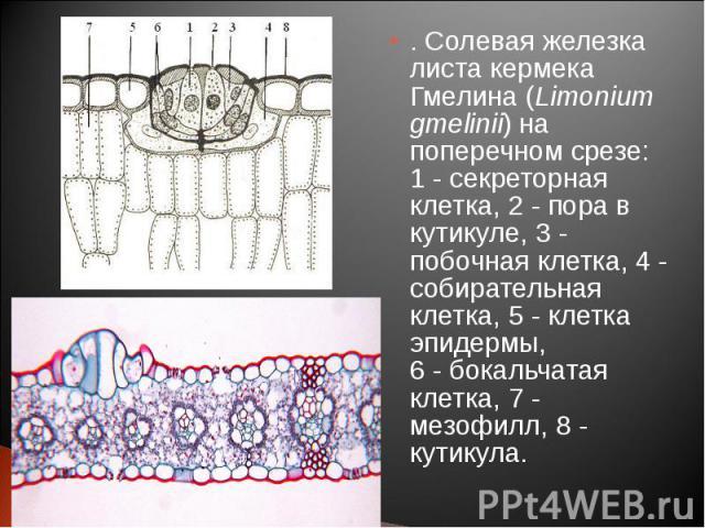 . Солевая железка листа кермека Гмелина (Limonium gmelinii) на поперечном срезе: 1 - секреторная клетка, 2 - пора в кутикуле, 3 - побочная клетка, 4 - собирательная клетка, 5 - клетка эпидермы, 6 - бокальчатая клетка, 7 - мезофилл, 8 - кутикула. . С…
