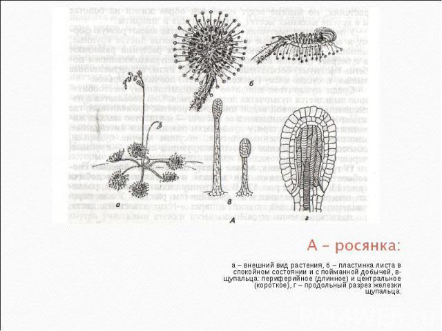 а – внешний вид растения, б – пластинка листа в спокойном состоянии и с пойманной добычей, в- щупальца: периферийное (длинное) и центральное (короткое), г – продольный разрез железки щупальца. а – внешний вид растения, б – пластинка листа в спокойно…