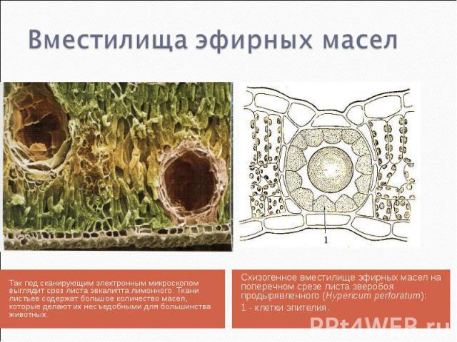 Так под сканирующим электронным микроскопом выглядит срез листа эвкалипта лимонного. Ткани листьев содержат большое количество масел, которые делают их несъедобными для большинства животных. Так под сканирующим электронным микроскопом выглядит срез …