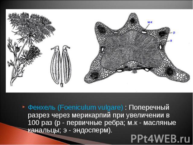 Фенхель (Foeniculum vulgare) : Поперечный разрез через мерикарпий при увеличении в 100 раз (р - первичные ребра; м.к - масляные канальцы; э - эндосперм). Фенхель (Foeniculum vulgare) : Поперечный разрез через мерикарпий при увеличении в 100 раз (р -…