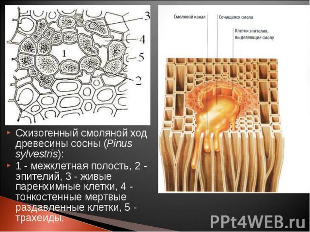 Схизогенный смоляной ход древесины сосны (Pinus sylvestris): Схизогенный смоляной ход древесины сосны (Pinus sylvestris): 1 - межклетная полость, 2 - эпителий, 3 - живые паренхимные клетки, 4 - тонкостенные мертвые раздавленные клетки, 5 - трахеиды.