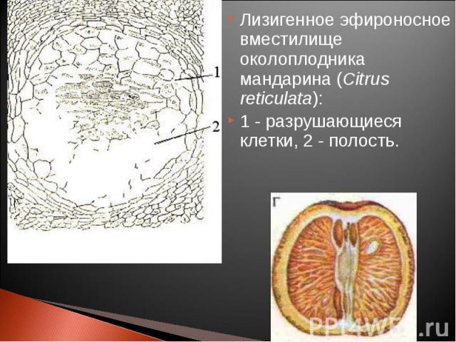 Лизигенное эфироносное вместилище околоплодника мандарина (Citrus reticulata): Лизигенное эфироносное вместилище околоплодника мандарина (Citrus reticulata): 1 - разрушающиеся клетки, 2 - полость.