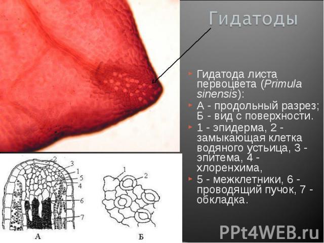 Гидатода листа первоцвета (Primula sinensis): Гидатода листа первоцвета (Primula sinensis): А - продольный разрез; Б - вид с поверхности. 1 - эпидерма, 2 - замыкающая клетка водяного устьица, 3 - эпитема, 4 - хлоренхима, 5 - межклетники, 6 - проводя…