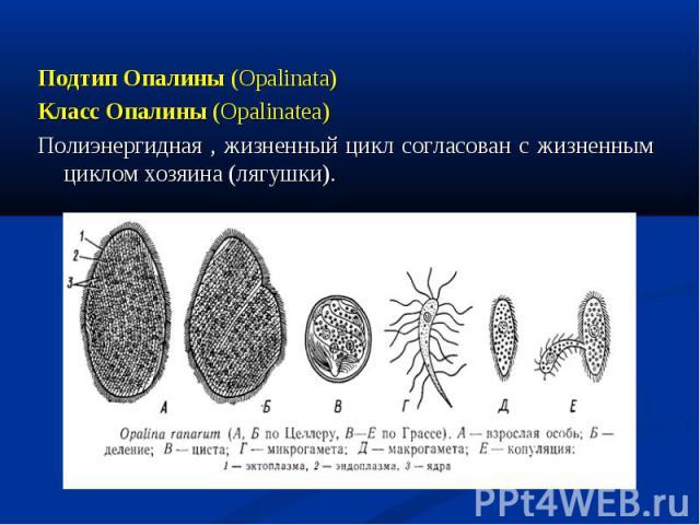 Подтип Опалины (Opalinata) Подтип Опалины (Opalinata) Класс Опалины (Opalinatea) Полиэнергидная , жизненный цикл согласован с жизненным циклом хозяина (лягушки).