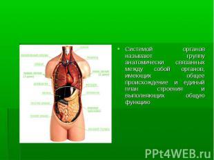 Системой органов называют группу анатомически связанных между собой органов, име