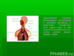 Дыхательная система обеспечивает поступление в организм кислорода и выделение уг
