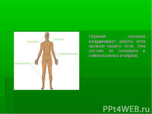 Нервная система координирует работу всех органов нашего тела. Она состоит из головного и спинного мозга и нервов. Нервная система координирует работу всех органов нашего тела. Она состоит из головного и спинного мозга и нервов.