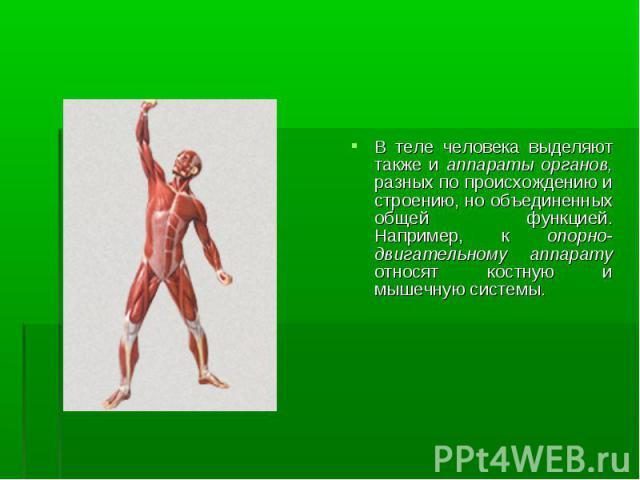В теле человека выделяют также и аппараты органов, разных по происхождению и строению, но объединенных общей функцией. Например, к опорно-двигательному аппарату относят костную и мышечную системы. В теле человека выделяют также и аппараты органов, р…