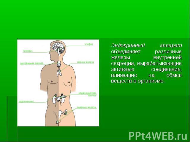 Эндокринный аппарат объединяет различные железы внутренней секреции, вырабатывающие активные соединения, влияющие на обмен веществ в организме. Эндокринный аппарат объединяет различные железы внутренней секреции, вырабатывающие активные соединения, …
